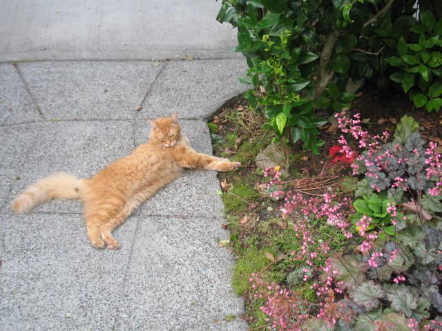 lavender cat - photo #10