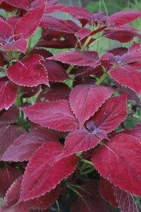 Red Leaf Coleus