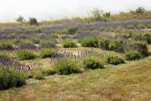 Labryrinth at Lavender Wind farm