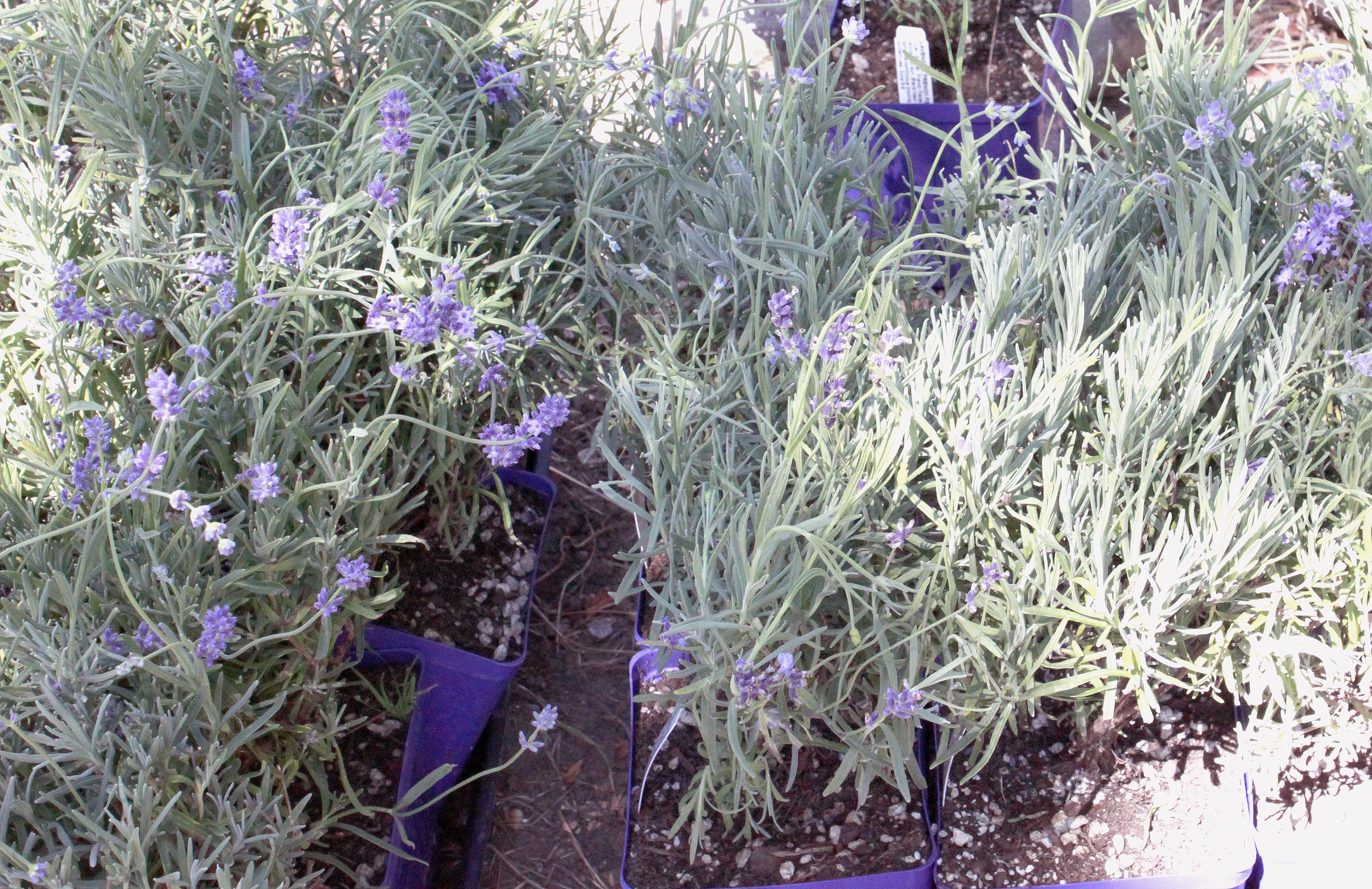 plants | Discover Lavender