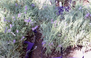 New Lavener Plants