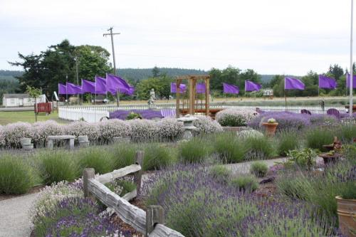 Lavender Season at Sunshine Herb & Lavender Farm