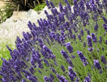 Lavender: A Treat for Honeybees