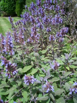 Honeybees Thrive on Sage