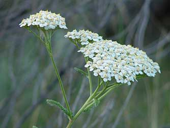 Yarrow Attracts Bees